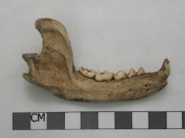 Right_Mandible_of_Raccoon_from_Feature_4.JPG
